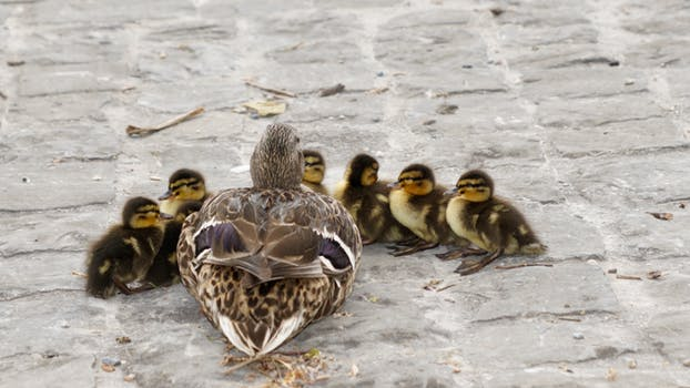 waterfowl-mallard-young-young-duck-159864
